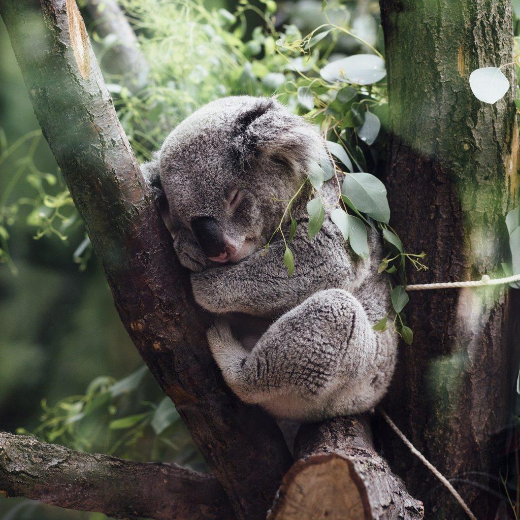 A cute koala sleeping in a tree